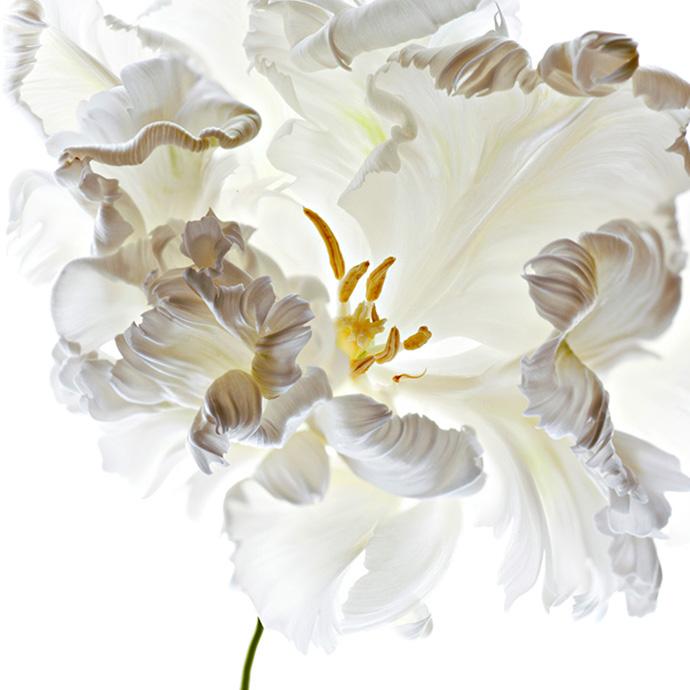 Studio shot of white parrot type Tulip flower - www.polinaplotnikova.com